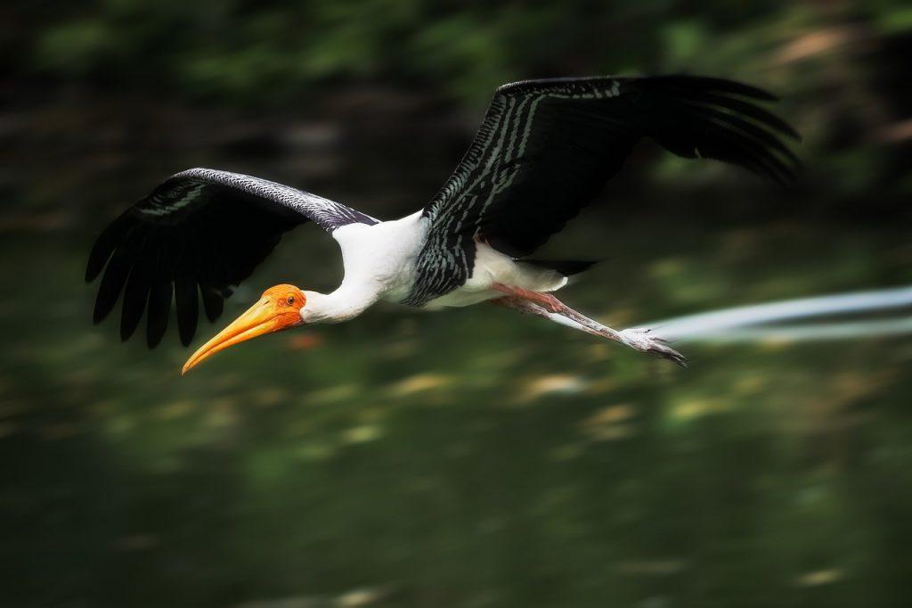 bird, painted stork, nature_picfixs