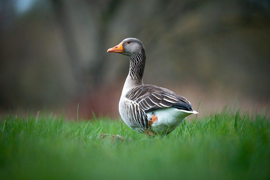 duck, bird, grass