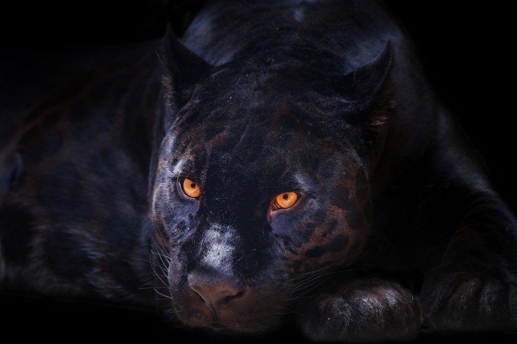 panther, animal, feline__picfixs